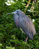 Little Blue Heron (Egretta caerulea) in breeding plumage.