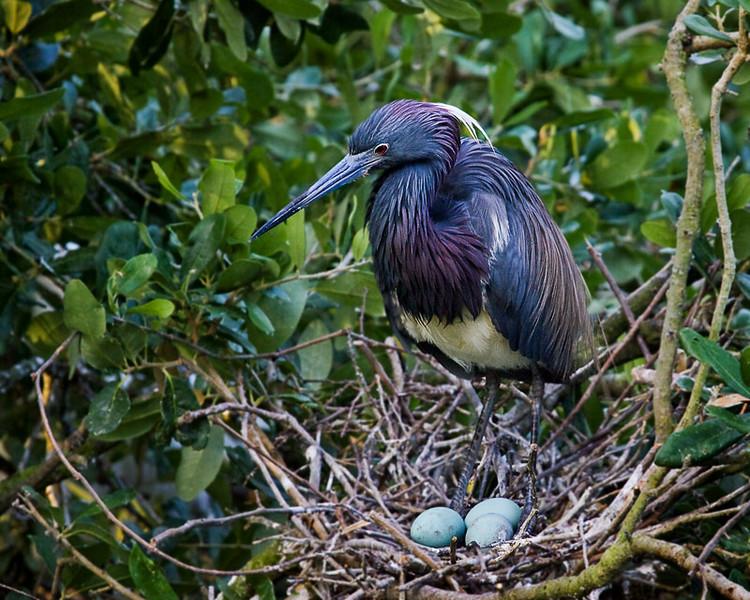 Tricolored Heron (Egretta tricolor) on nest with eggs.
