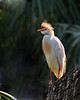 Cattle Egret (Bubulcus ibis) in breeding plumage.