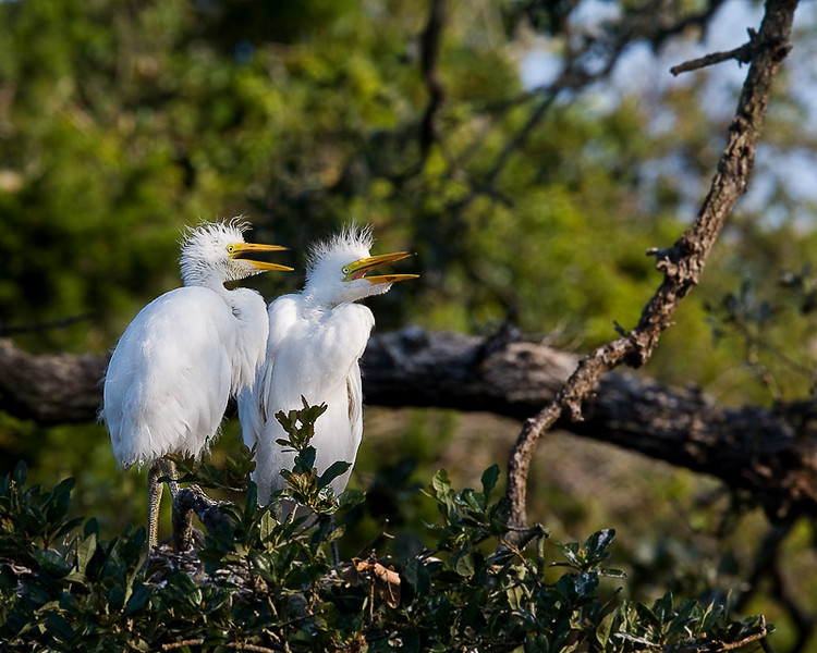 Great Egret, two chicks.