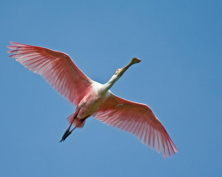 Roseate Spoonbill (Ajaia ajaja) in breeding plumage in flight.
