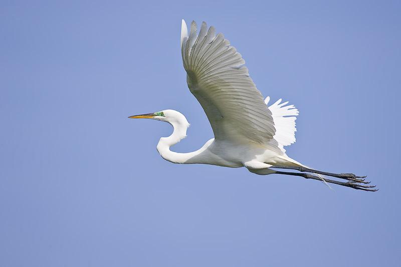 Great Egret (Casmerodius albus) breeding plumage in flight.