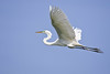 Great Egret (Casmerodius albus) breeding plumage in flight.