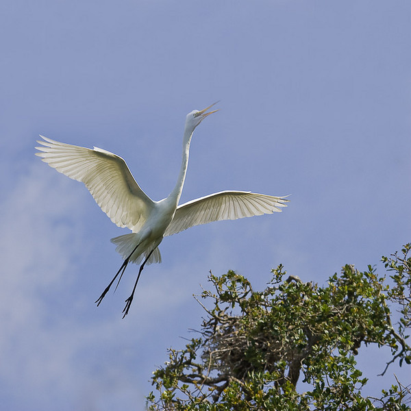 Great Egret.  Mighty proud!