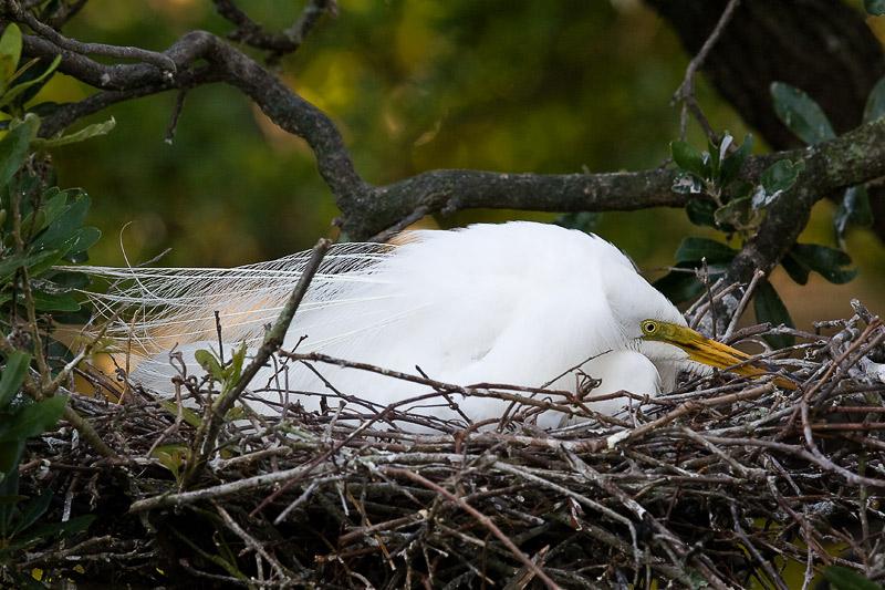 Great Egret on nest.