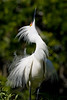 Snowy Egret (Egretta thula) looking above for danger.