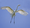 Great Egret about to land on a nest.