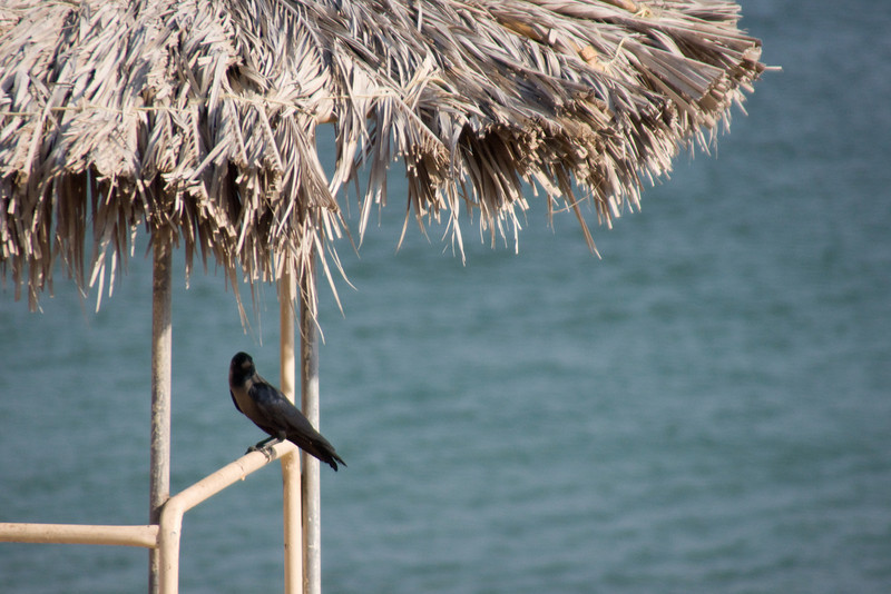 019. 7 December 2008 - Bird House<br /> <br /> A crow taking a break in the shelter of a life guard station. The roof of this station is made from dried palm fronds, from the abundant palm trees in the area.