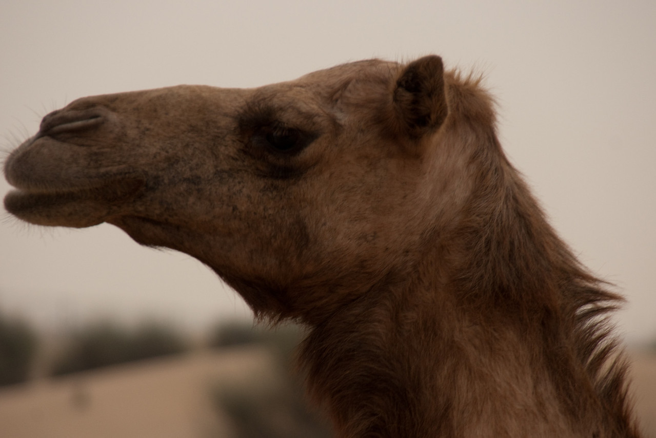 037. 15 January 2009 - The Profile of a Serial Camel<br /> <br /> Well, living in camel country... and noticing that my dailies are missing the presence of the ever abundant camel, here is my contribution and I call him 'George'.<br /> <br /> Camels are obviously very important in local culture, with several camel racing tracks dotted throughout the country - and this really is a spectacle to behold. More on that another time.<br /> <br /> One of my favorite past-times is spending the weekends in the desert (especially while we can - before it heats up), partying with friends and just having a good time... and of course, you will encounter countless wild camels roaming around the deserts. 'George' was not very cooperative as I was trying to get some close-ups, but eventually I settled on this profile, which ended up filling the frame perfectly.<br /> <br /> Hope you enjoy!