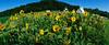 sunflowers_pano