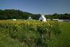 Sunflowers7_18_04_08