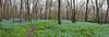 parkland bluebells 4_25