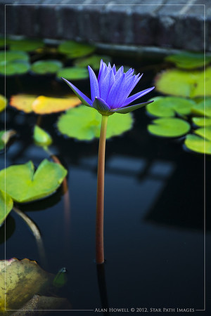 Waterlilly_1381_web