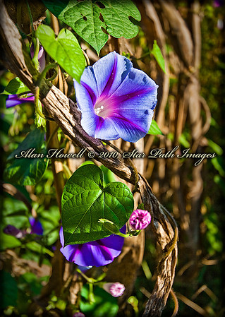 Morning Glory_1011