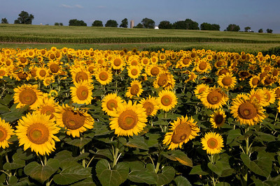 Sunflowers with Corn Field, Illinois