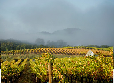California vineyards with mist