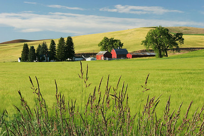 Wheatfields with farmhouse, Washington