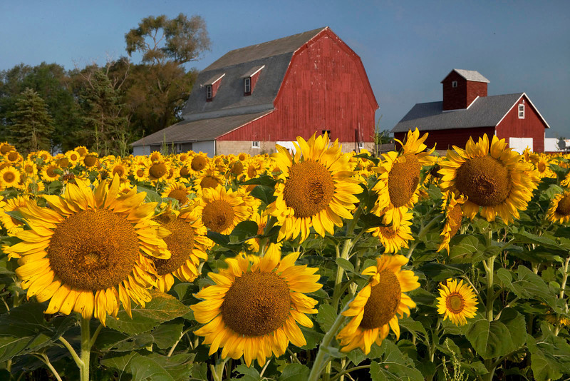 Sunflowers with Red Barns 1, Illinois