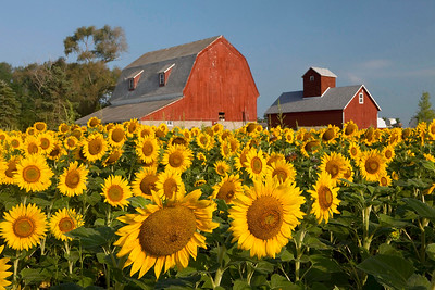 Sunflowers with Red Barns 2, Illinois
