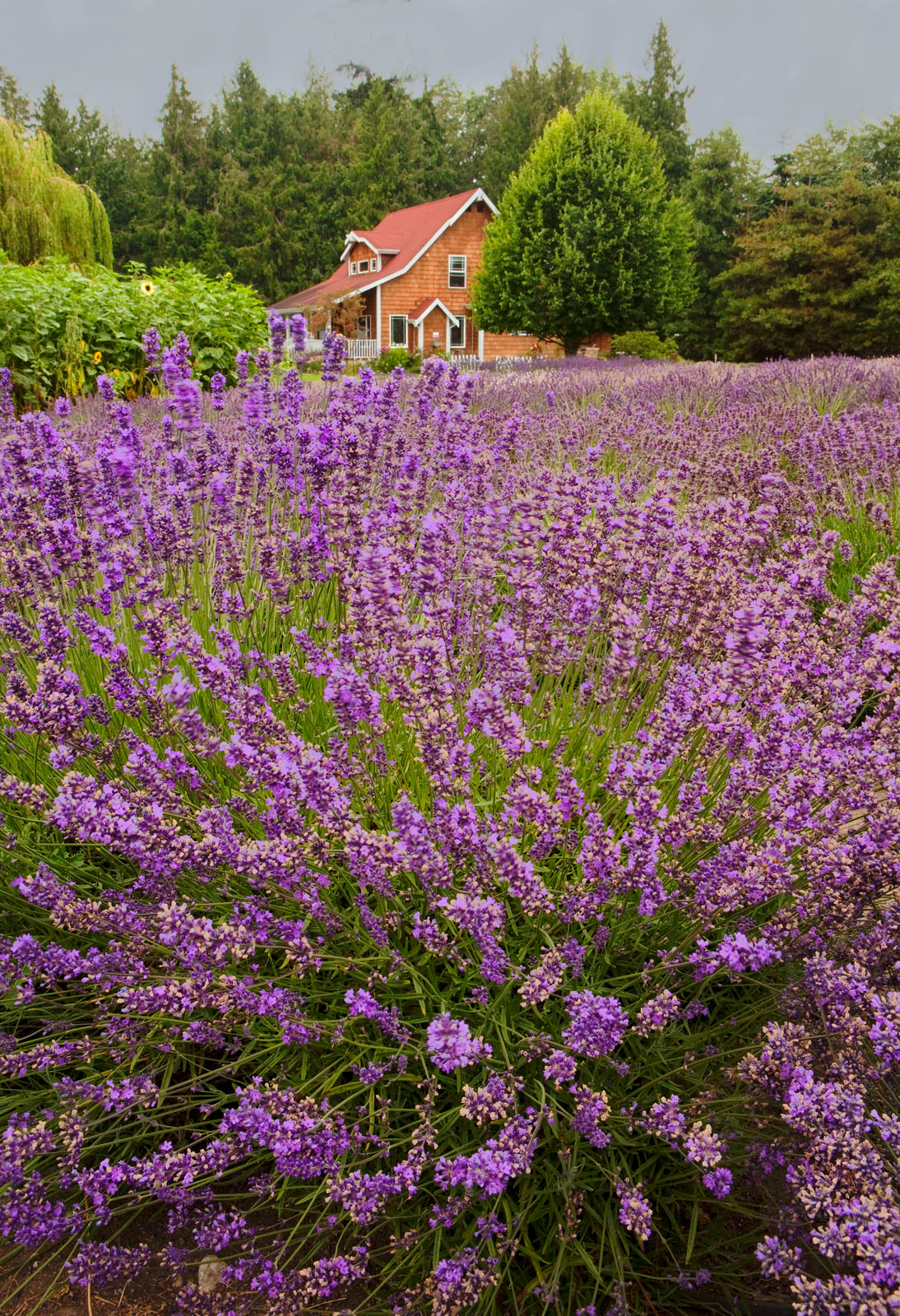 Lavender farm 2, Washington