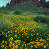 Superstition Mountain with Gold Poppies, Arizona