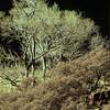 Cottonwood Trees, Zion National Park, Utah