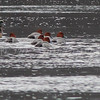 American Wigeon and Redhead