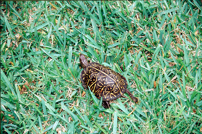 Eastern Box Turtle (Florida Box Turtle)