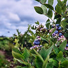 Blueberry Skies