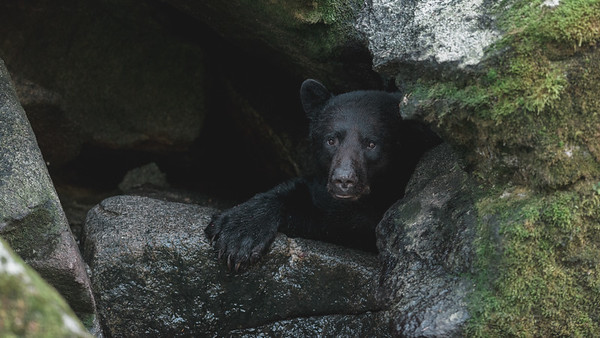 A Black Bear peers around the rocks at the rivers edge, Anan Creek Wildlife Viewing Site 2013.