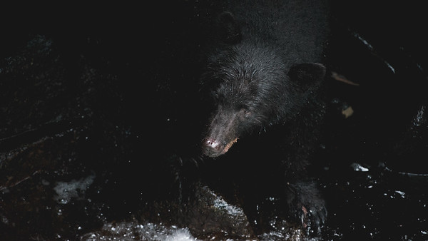 A Black Bear emerging from the rocks at the rivers edge, Anan Creek Wildlife Viewing Site 2013.