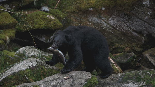 A Black Bear carrying a fish at the rivers edge, Anan Creek Wildlife Viewing Site 2013.