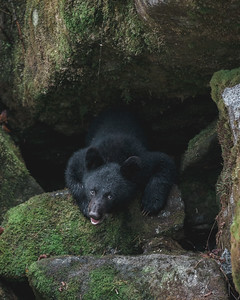 A Black Bear cub waits in the rocks at the river edge while its Mum fishes, Anan Creek Wildlife Viewing Site 2013.