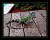 Igor the Iguana