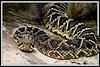 Russell The Rattlesnake