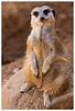 Marvin The Meerkat