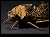 Chester The Cicada