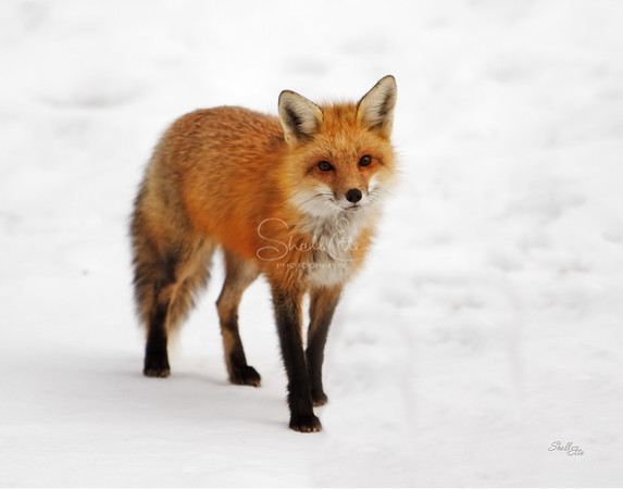 Curious Red Fox in Winter