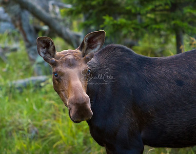 Young Moose Unsure