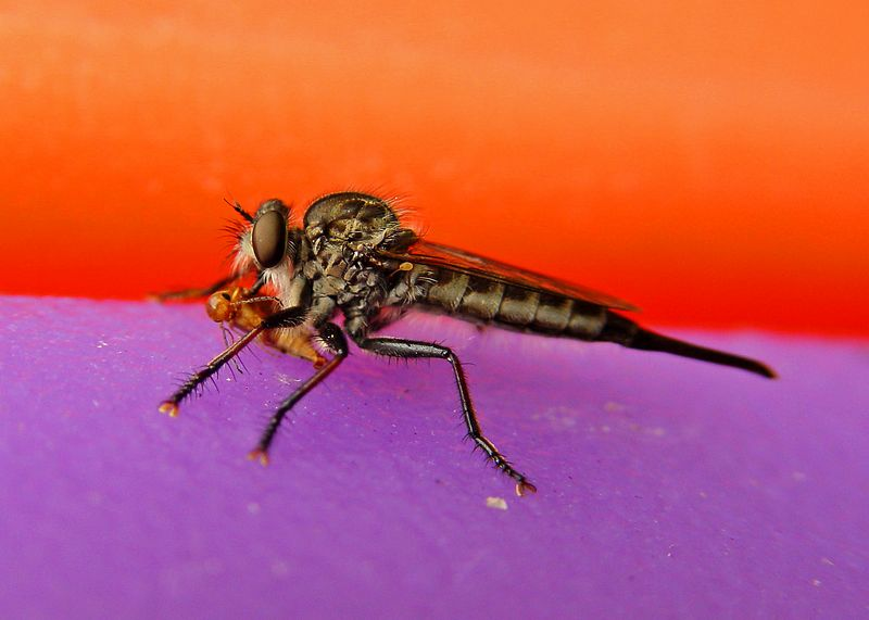 Robberfly has a snack