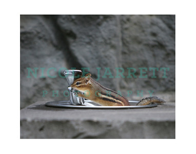 Chipmunk drinking from water fountain