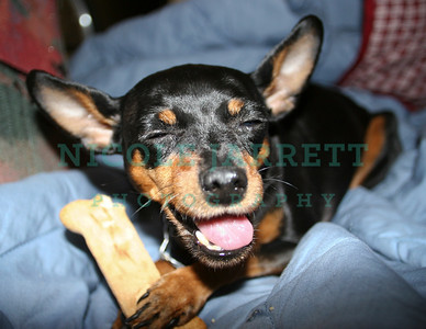 Happy Min Pin with Her bone