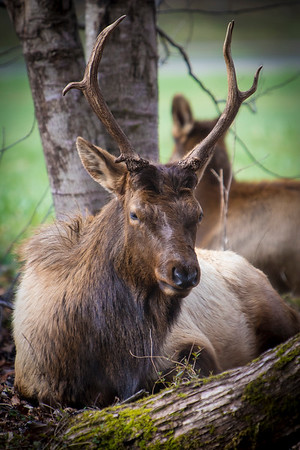 This was the shot I was looking for, in their natural setting, just doing elk things...