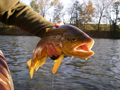 Monster brown trout in full fall colors.