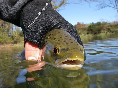 Catch and release of a Holston River Brown trout in cold weather water.