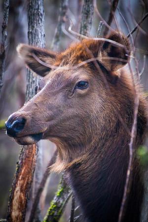 Elk in North Carolina