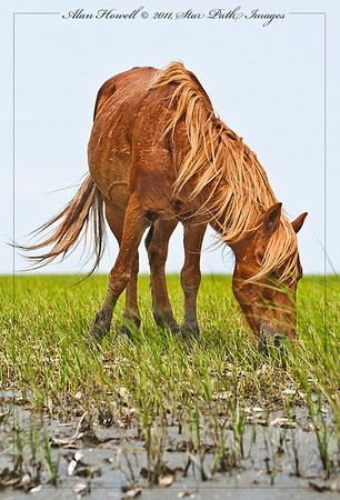 Wild horse eating the sparse grasses on Shackleford Banks, NC.