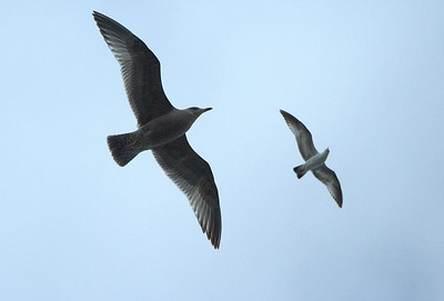 North Carolina seagulls.