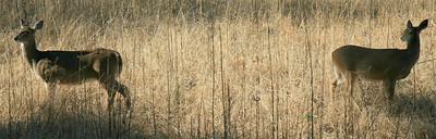 Whitetail deer on high alert.