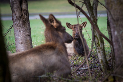 Deep, profound elk discussion about grass being greener on the other side of the river...